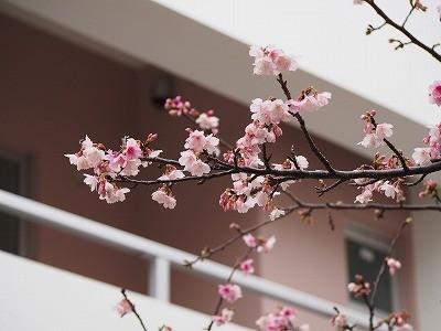沖縄の桜 咲いてます